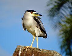 Foto savacu (Nycticorax nycticorax) por Cida Copriva | Wiki Aves - A Enciclopédia das Aves do Brasil