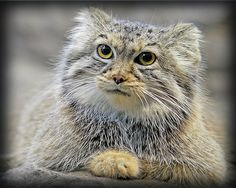 Pallas' Cat / Manul (Otocolobus manul) Their resemblance to grey-tabby Persian Longhairs meant they were once wrongly believed to be the ancestors of Persian cats.Pallas' Cat has a very short broad head, very small round low-set ears,large yellow eyes and a heavy-set body on stocky legs.They have the longest coat of any species of wild cat; this is greyish with white tips to the hairs.They have small black spots over their body and head,and two black bars on the sides of their face.