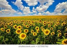 Annabelle's love of Kansas sunflowers