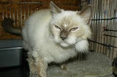 54 Best Ragdolls Up for Adoption images in 2014 | Adoption, Foster