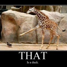 Yes it is :) #duck #giraffe #meme #funny #lol