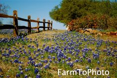 Art  Photography  Nature  Notecard  greeting card  photography  original art  handmade  Texas  bluebonnets  flowers Texas Hill Country  hill country  country living  South  Southern