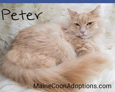 August 2015, Oakland, CA. Hi, I'm Peter, a 3-year-old Maine Coon mix kitty. My foster mom tells me I have gorgeous, luxurious fur. I'm a happy kitty that loves being petted! I'm available for adoption in Northern California from MaineCoonAdoptions.com #CatsofMCA