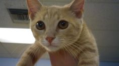 Bubba 6332 Needs a good home! CatsExclusive.org Fixed, vaccinated, negative for FIV/FeLV/HW, de-wormed, de-fleaed.