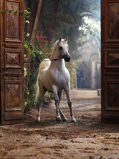 Arabians in Egypt