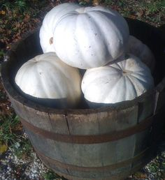 white pumpkins  photo by tricia foley