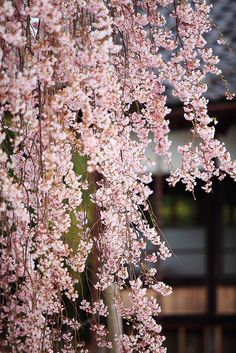 Japanese weeping cherry tree. Not sure these are able to be grown in zone 8-9, but I wish they can be!