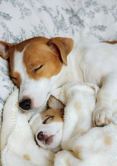 Jack Russell Terrier - A Dog in One Pack - Champion Dogs Perros Jack Russell, Jack Russell Puppies, Jack Russell Terriers, Cute Puppies, Cute Dogs, Dogs And Puppies, Doggies, Maltese Puppies, Baby Puppies