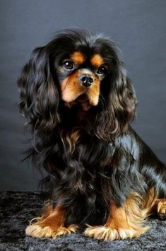 Everything we admire about the Playfull Cavalier King Charles Spaniel King Charles Puppy, Cavalier King Charles Dog, King Charles Spaniel, Cute Puppies, Cute Dogs, Cavalier King Spaniel, Spaniel Puppies, Tier Fotos, Beautiful Dogs