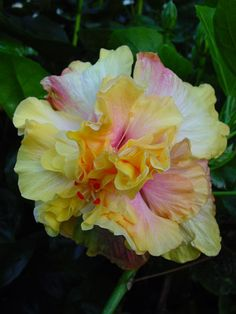Hibiscus 'Colorin' Book'  I have a different hibiscus every year- they always do well.