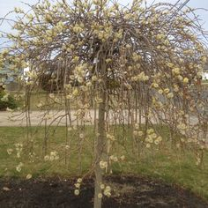 Weeping Pussywillow