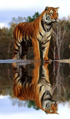 Stunning Bigger Than Life Tiger & His Reflection. Big Cats, Cool Cats, Cats And Kittens, Nature Animals, Animals And Pets, Cute Animals, Wild Animals, Baby Animals, Beautiful Cats