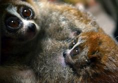 A six-week old and still nameless pygmy slow lori (R, Nycticebus pygmaeus) is seen with its mother Malaga (L) at the zoo in Szeged, Hungary, on January 24, 2013