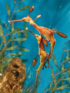 leafy sea dragon. Random fact: the long beach aquarium is the first to successfully breed them in captivity.