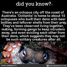 There's an octopus city off the coast of Australia. 'Octlantis' is home to about 15 octopuses who built their dens with beer bottles and leftover shells from their prey. They've been observed living together, mating, forming gangs to keep intruders. Octopus Facts, Funny Animals, Cute Animals, Did You Know Facts, Coast Australia, Marine Biology, Animal Facts, Ocean Creatures, Wtf Fun Facts
