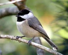 Image result for native birds of north carolina