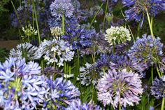 Agapanthus African sky mix Agapanthus, African, Sky, Plants, Heaven, Heavens, Plant, Planets