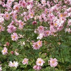 Idéale en massif ou sous-bois. Floraison automnale rose.