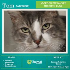 Looking to meet a handsome gentleman? Tom (A809934) would make a meowtstanding companion! He enjoys socializing, scratches, and the occasional treat. Let his young-at-heart attitude make you swoon. Tom's adoption fee -- and the fees of all dogs and cats 5 years and older -- are waived now through Nov. 30 in honor of Adopt a Senior Pet Month, too! Snag this fella today at our Campus Adoption Center.