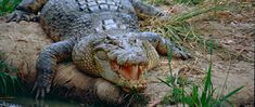 Australia& living dinosaur and largest reptile in the world is the feared saltwater, or estuarine, crocodile, once an almost extinct animal. Australian Saltwater Crocodile, Reptiles, Mammals, Deadly Animals, Protected Species, Animal Protection, Extinct Animals, First Humans, Crocodiles