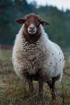 Coburger Fuchsschaf (Germany) by kenya Farm Animals, Animals And Pets, Cute Animals, Beautiful Creatures, Animals Beautiful, Sheep Breeds, Sheep Art, Cute Sheep, Sheep And Lamb