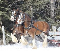 Clydesdale draft horses pulling a sleigh in the snow Horses In Snow, Big Horses, Work Horses, Pretty Horses, Beautiful Horses, Haflinger Horse, Clydesdale Horses, Shire Horse, Majestic Horse