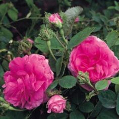 Châpeau de Napoléon - David Austin Roses  The most fragrant rose I have ever smelled. It's a dream of mine to own a couple of these one day.
