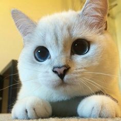 White coffee cat has such beautiful eyes