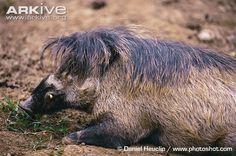 Visayan warty pig boar resting -critically endangered