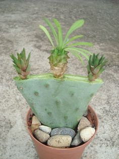 grafted opuntia Cacti And Succulents, Planting Succulents, Cactus Plants, Grafting Plants, Grafted Cactus, Weird Plants, Decorating Coffee Tables, Garden Trees, Cactus Flower