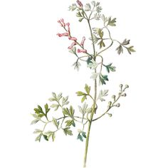 Free Digital Flower Graphic Wildflower Clip Art of Fumitory ❤ liked on Polyvore featuring decorations, flowers, backgrounds, filler and art