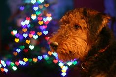 Christmas Airedale ♡