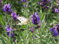 Vlinders zijn prachtige wezentjes. Net als bijen vliegen vlinders van bloem tot bloem om nectar te verzamelen. Zo helpen ze ons met het bestuiven van bloemen en planten zodat wij kunnen genieten van heerlijke groenten en fruit. Tijdens ons Vlinderweekend op 5 & 6 augustus kom je in onze winkels meer te weten over hoe je vlinders naar jouw tuin kan lokken. Ook hebben we enkele leuke promoties klaarstaan. Maar, welke soorten vlinders zijn er eigenlijk allemaal?