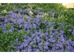 Symphyotrichum oblongifolium (Aromatic aster) | NPIN Seed Bank, Plant Images, Fall Plants, Plant Sale, Garden Photos, Aster, Native Plants, Gardening Tips, Wild Flowers
