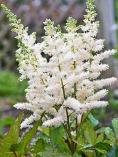 Astilbe Younique White™ -- Bluestone Perennials