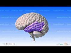 Neuroanatomie : Le Cerveau Humain - YouTube