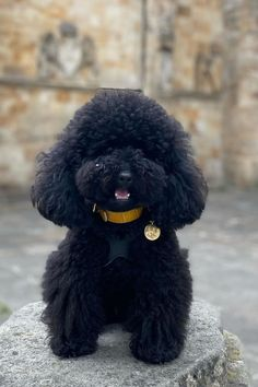 Poodles are considered to be the best breeds to own as there are extremely sensitive and much attached. Poodle puppies are one of the cutest and eye-catching puppies ever. #poodlepuppy #poodlepuppytraining #poodlepuppies #cutepoodlepuppies #dogsandpuppiespoodle #dogsandpuppies #cutedogs Poodle Mix Puppies, Dogs And Puppies, Cute Dogs, Poodles, Animals, Eye, Animales, Standard Poodles, Animaux
