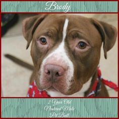 Brody is an adoptable Pit Bull Terrier searching for a forever family near Erie, PA. Use Petfinder to find adoptable pets in your area.