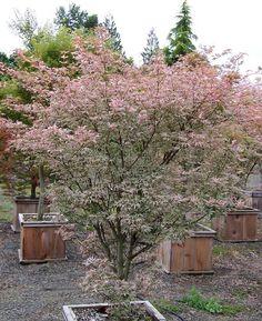Acer palmatum 'Ukigumo' (Japanese maple variety)