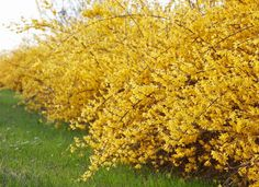 12 Fast-Growing Shrubs to Plant This Fall Forsythia – Fall Shrubs Pruning Shrubs, Bushes And Shrubs, Privacy Shrubs, Flowering Shrubs, Shrubs For Landscaping, Garden Shrubs, Landscaping Ideas, Shade Garden, Luxury Landscaping