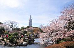 Shinjuku Gyoen and Cherry blossom.