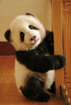panda baby | by giantpandaphotos
