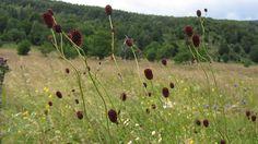 Great Burnet flowers