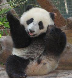 #panda #панда Panda cub Xiao Liwu at the San Diego Zoo.