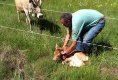 Teneri cuccioli Notizie: La mucca ha perso il suo vitellino: ecco il suo ri...
