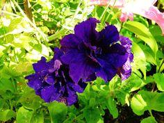 Dubble Petunia - CIMG3329