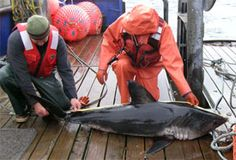 Salmon shark caught on a research cruise in southeast Alaska