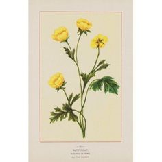 Wild Flowers of America 1894 Buttercup Canvas Art - Unknown (18 x 24)