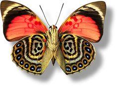 butterfly or moth? Papillon Butterfly, Art Papillon, Butterfly Kisses, Butterfly Wings, Butterfly Template, Butterfly Dragon, Butterfly Photos, Butterfly Shape, Monarch Butterfly