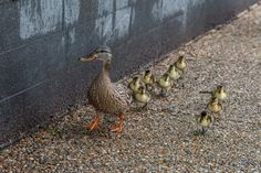 Duck tourism - duck family mother and puppy in a line crossing the street in washington dc